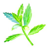 Stevia-Leaf-Extracts